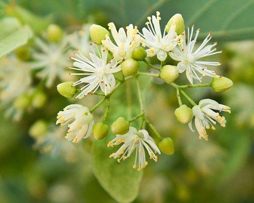 Akademie Modul Heilpflanze linde